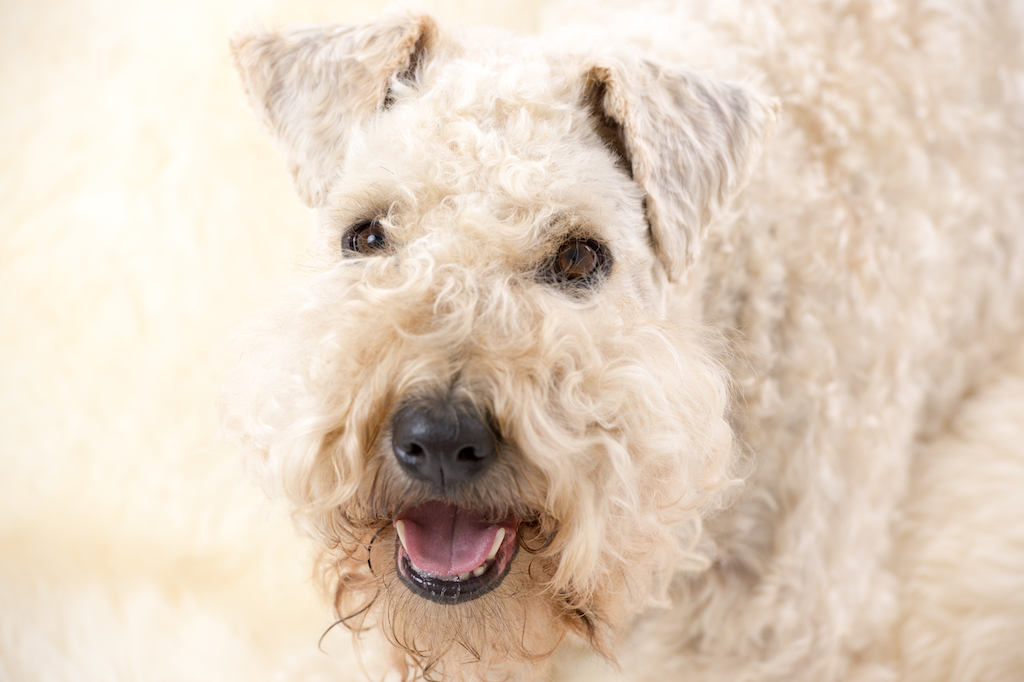 Irish Soft Coated Wheaten Terrier