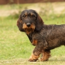 Rabbit Dachshund Wire-haired