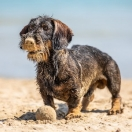 Dachshund Standard Wire-haired