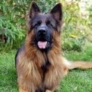 German Shepherd Dog Long-haired