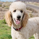 Poodle Medium Size