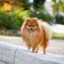 Pomeranian (German Spitz, Toy Spitz)