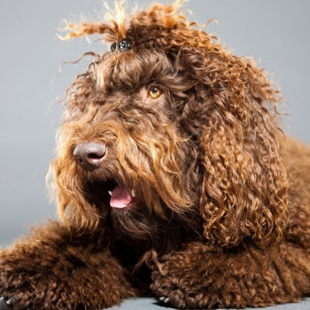 French Water Dog (Barbet)