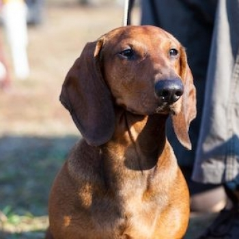 Dachshund Standard Smooth-haired