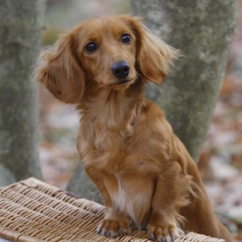 Dachshund Miniature Long-haired