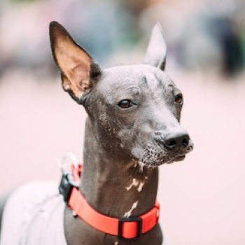 Peruvian Hairless Dog Medium-sized (Peruvian Inca Orchid Medium)