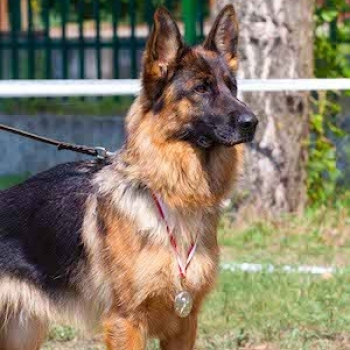 German Shepherd Dog Short-haired
