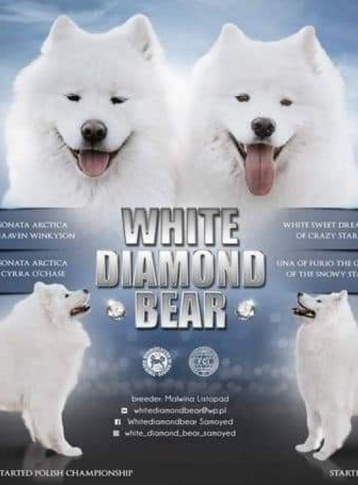 White Diamond Bear